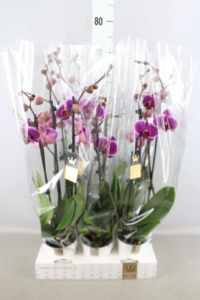 <h4>Phalaenopsis  'Ant Pretoria'</h4>