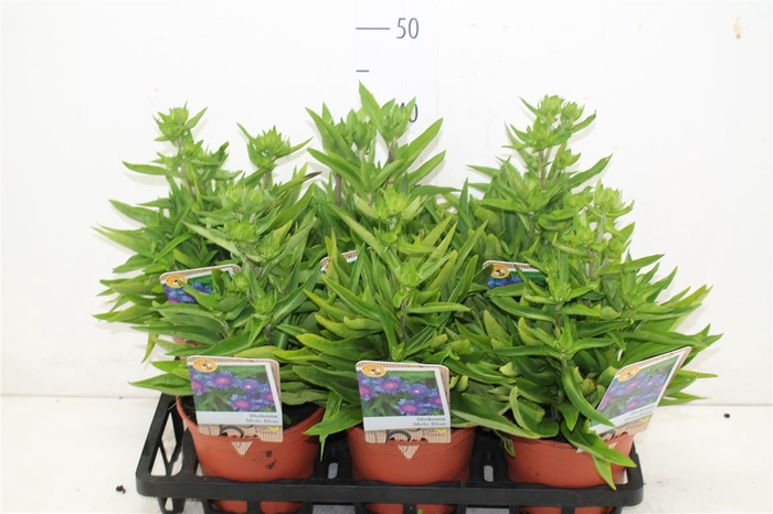 <h4>Stokesia Laevis</h4>