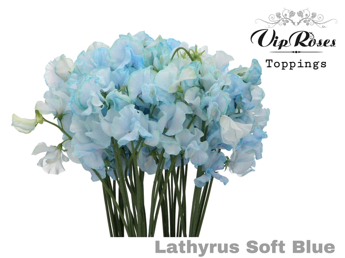 <h4>Vip Lathyr Soft Blue</h4>