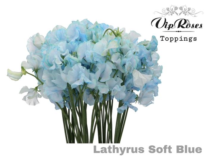 <h4>LATHYR SOFT BLUE</h4>