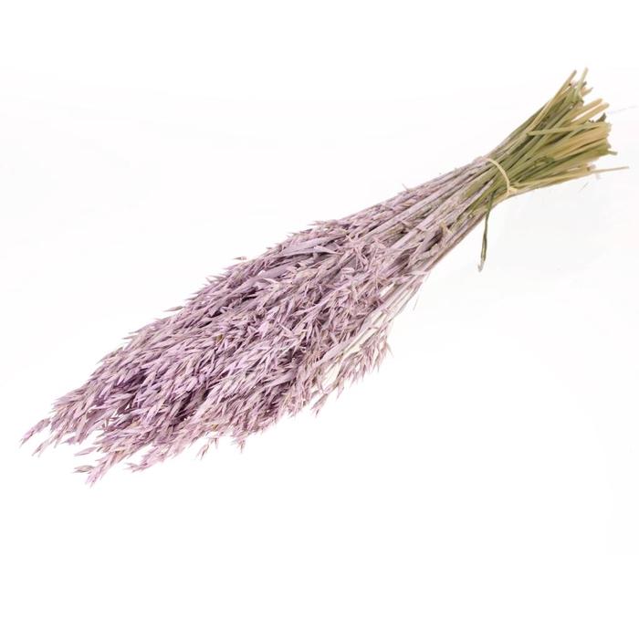 <h4>Haver (Avena) lilac misty</h4>