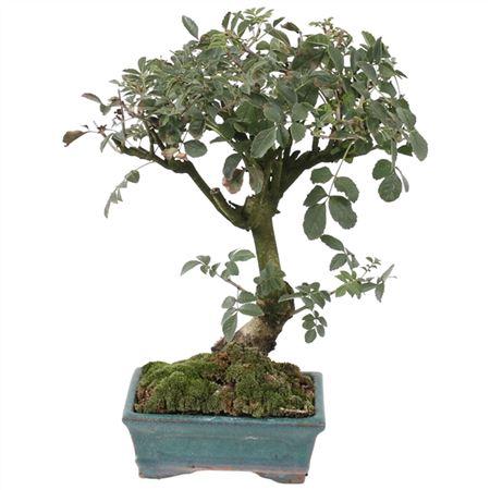 <h4>Bonsai Outdoor Deluxe Quercus Suber Ø15cm</h4>