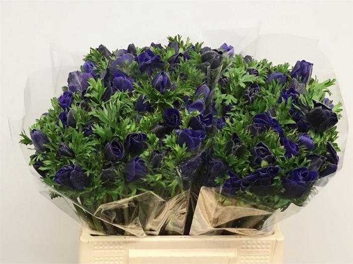 <h4>Anem Co Mar Blue</h4>