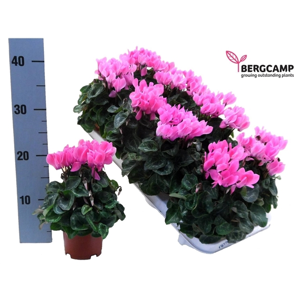 <h4>CYCL-BERG-COMPACT LICHT ROZE</h4>