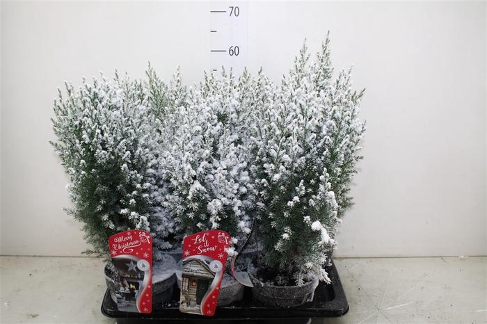 <h4>Juniperus Ch Stricta Snow</h4>