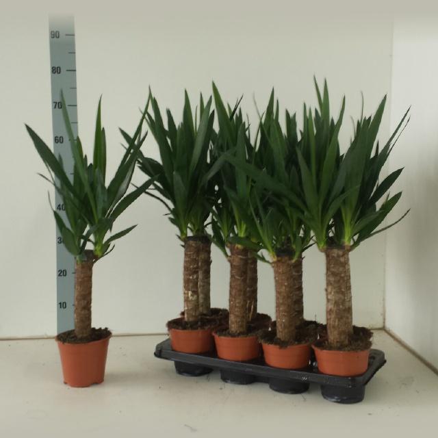 <h4>Yucca 14Ø 60cm 2Head</h4>