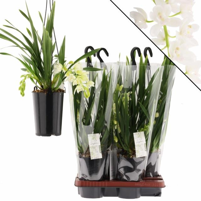 <h4>CYMBIDIUM ICE CASCAD</h4>
