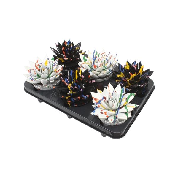 <h4>Echeveria coloured Splash black&white mix</h4>