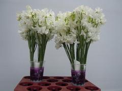 <h4>Lathyrus Sunshine White</h4>