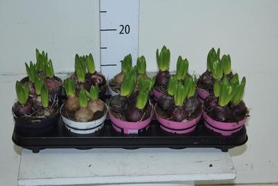 <h4>Hyacinth GEM 4 KL</h4>