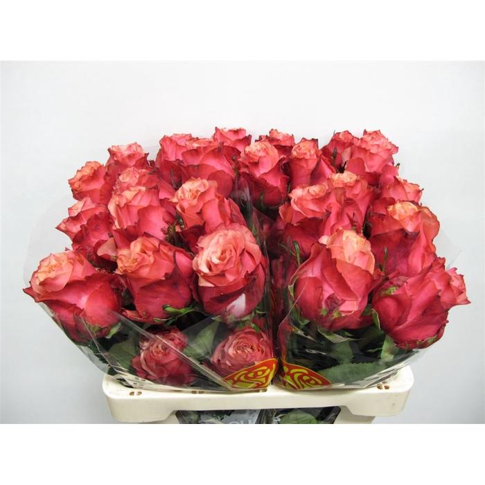 <h4>R Gr Art Rose</h4>