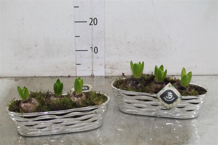 <h4>Hyacinth Wit 121 Keramiek Kano Zilver</h4>