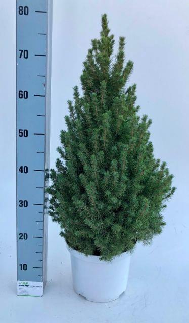 <h4>Picea Gl Conica</h4>