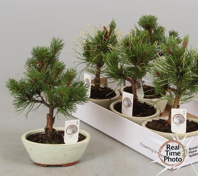<h4>BONSAI NAALDHOUT GEM</h4>