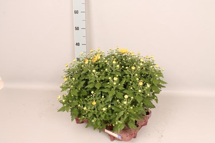 <h4>Bol chrysant Spin Yellow NIEUW</h4>
