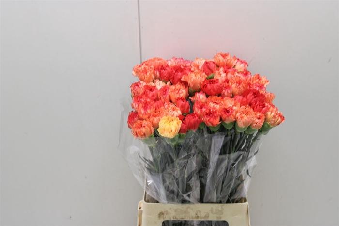<h4>Di St Rainbow Orange</h4>