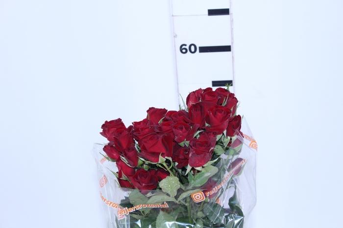 <h4>ROSA SPRAY RUBICON 060 CM</h4>