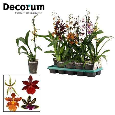 <h4>Orchideeën 1 Tak Mix Zonder Phalaenopsis (decorum)</h4>