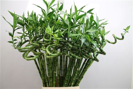 <h4>Drac Lucky Bamboo 100cm ( Curly )</h4>