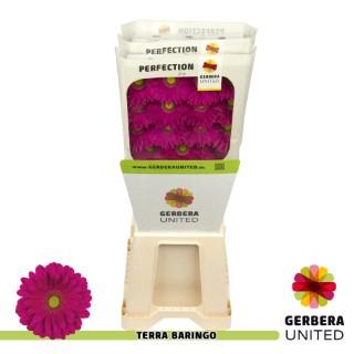 <h4>Gerbera Baringo</h4>