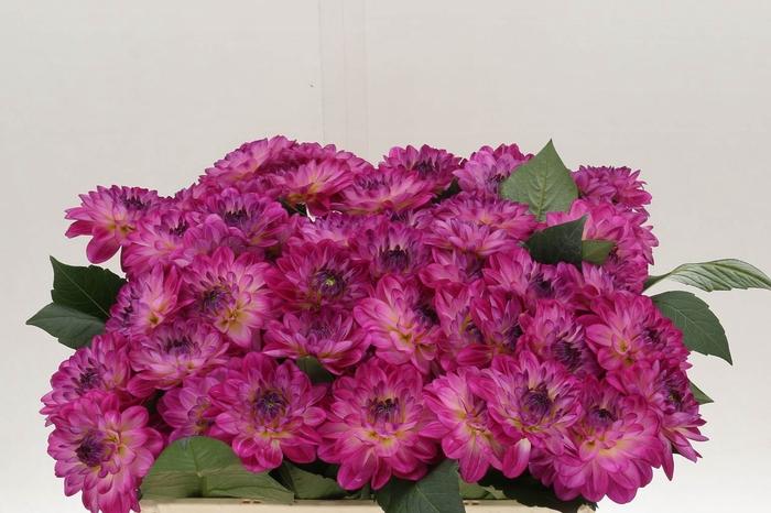 <h4>Dahlia Overig Violet</h4>