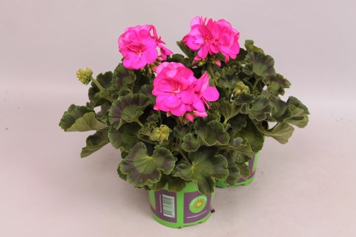 <h4>Pelargonium zonale Violet</h4>