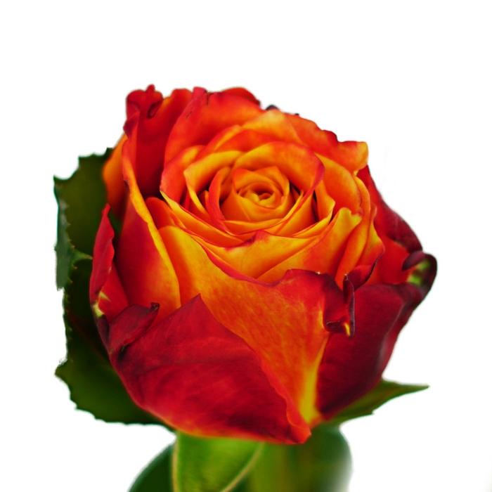 <h4>Rosa gr Atomic (Nevado)</h4>