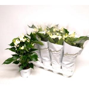 Anthurium White Champion 14Ø 50cm 8Flow