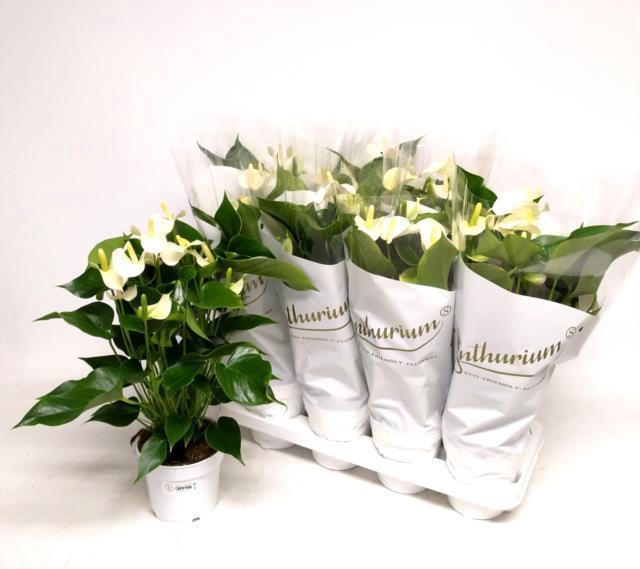 <h4>Anthurium White Champion 14Ø 50cm 8Flow</h4>
