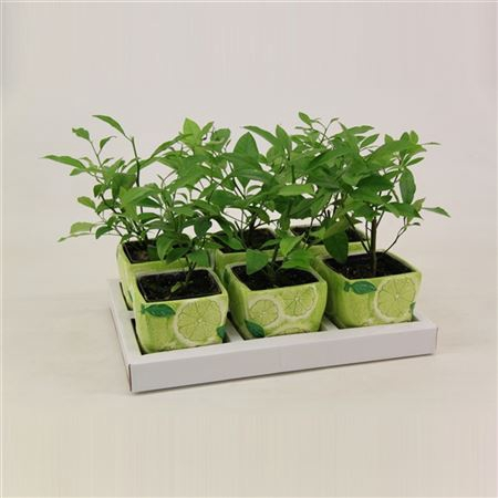<h4>Citrus Aurantifolia 'limoen' In Keramiek</h4>