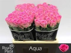 <h4>Rose Aqua</h4>