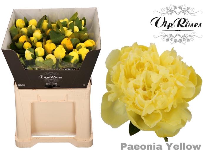 PAEONIA YELLOW