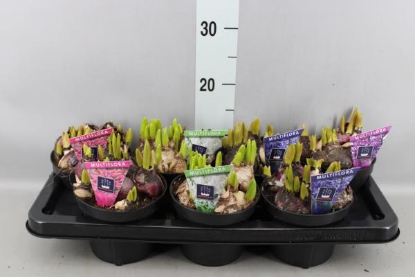<h4>Hyacinthus orie. 'Multifl'  ..mix 3</h4>