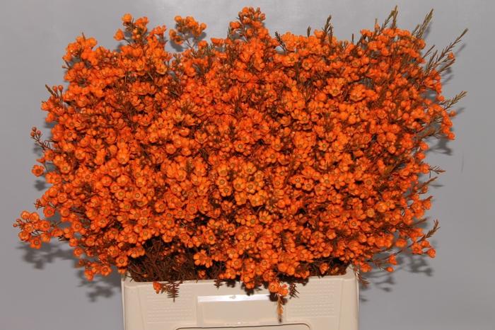 <h4>Wax Oranje</h4>