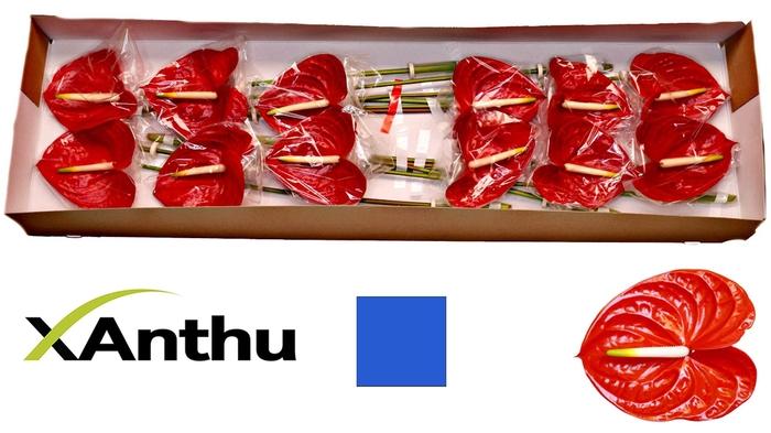 <h4>ANTH A CARISMA</h4>