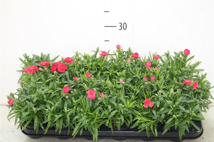 <h4>Dianthus Red</h4>
