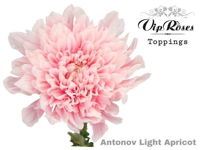 CHR G ANTONOV LIGHT APRICOT