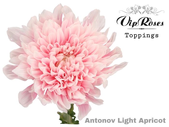 CHR G ANTONOV LIGHT APRICOT