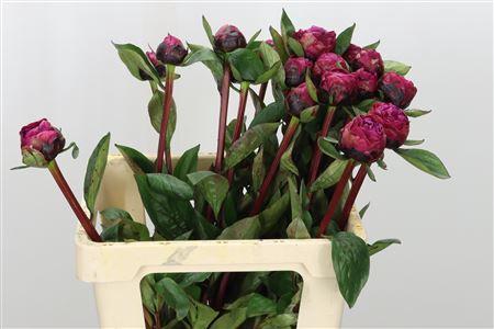 <h4>Paeonia Red Bernhardt</h4>