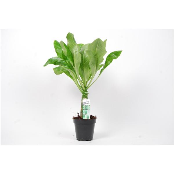 <h4>Brighamia insignis 'Hawaii Palm'</h4>