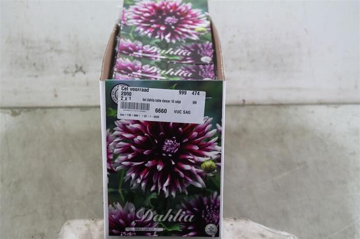 <h4>Bol Dahlia Table Dancer 10 Zakjes X1</h4>