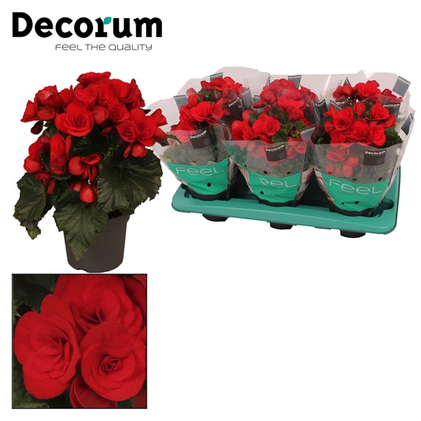 <h4>Begonia ''baladin'' rood 13cm Decorum</h4>