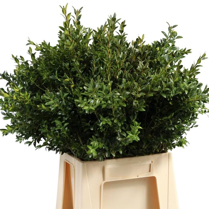 <h4>Buxus Groen (P. Bos)</h4>