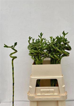 <h4>Drac S Lucky Bamboo 80cm</h4>