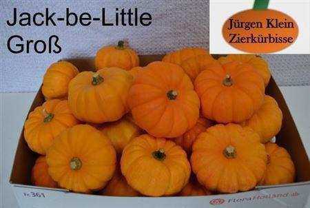 <h4>Cuc P Jack Be Little</h4>