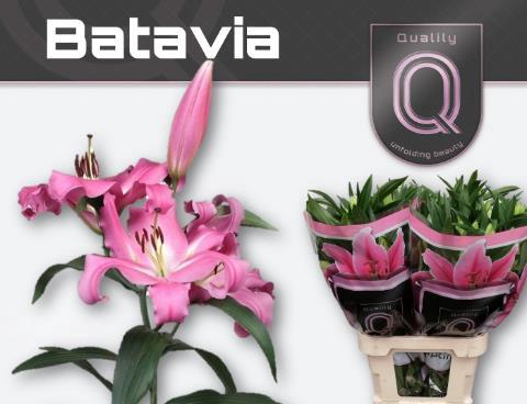 <h4>Lilium (OT-hybrids Grp) 'Batavia'</h4>
