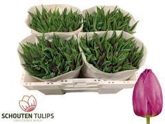 <h4>Tulipan single Purple Prince</h4>