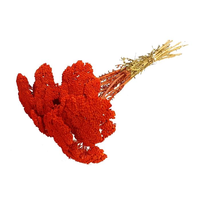 <h4>Achillea per stem Red</h4>