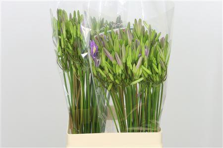 <h4>Brodiaea Californica Babylon Lavender</h4>