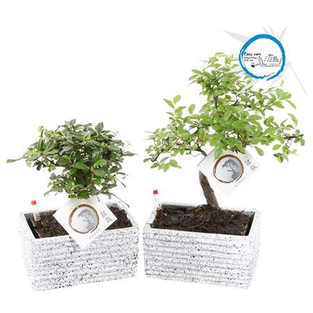 <h4>Bonsai A1170011 Gemengd Keramiek Easy Care Granite</h4>